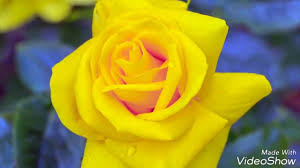 اجمل الورود الطبيعية الصفراء Youtube