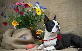 boston terrier flowers dog