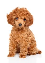 toy poodle puppies adopt
