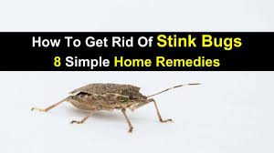how to get rid of stink bugs 8 simple