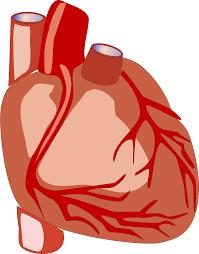 Human Heart vector file image - Free stock photo - Public Domain ...