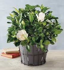 6 everblooming gardenia harry david