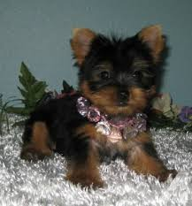 cute yorkshire terrier puppies text at