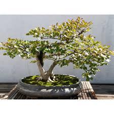 bonsai true myrtle myrtus munis