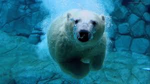 white polar bear wallpaper