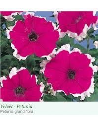 petunia gf hulahoop velvet petunia
