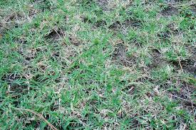 kill crabgrass in your lawn naturally