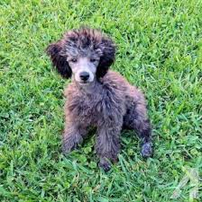 toy poodle 5 months old male beautiful