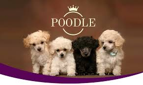 poodle puppies in miami