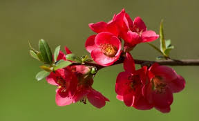 ments on quince blossom