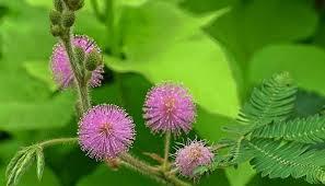 klasifikasi tumbuhan putri malu