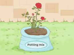how to prepare soil for roses 8 steps