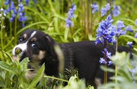 poisonous plants and flowers your dog