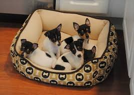 toy fox terrier breeders within the