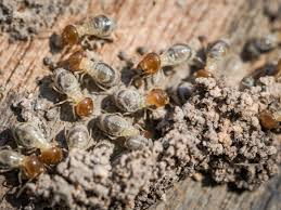 Get Termite Removal Pics
