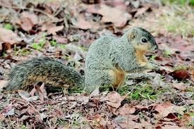 tree squirrel or ground squirrel what