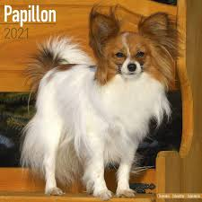 Amazon.com : Papillon Calendar 2021 - Dog Breed Calendar - Wall Calendar  2020-2021 : Office Products