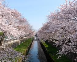 1280x1024 cherry trees seasonal 5k