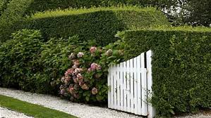 Privet Hedge A Quick Guide To Planting And Pruning This Old House
