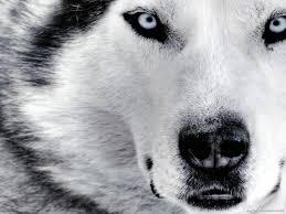 best 22 siberian huskies wallpaper on