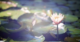 lotus flower meaning and symbolism balance by buddha groove