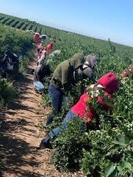 Trabajadores agrícolas en EE.UU. piden protección ante Covid-19 ...