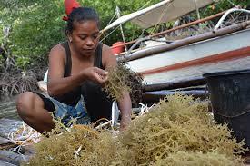 FAO project helps seaweed farmers regain livelihoods after Haiyan ...