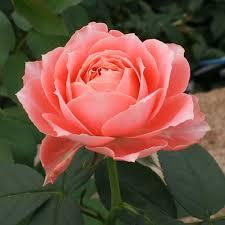 ラ・シャンス|バラ(薔薇)|オキツローズナーセリー