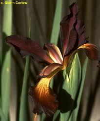 SpuAdaPerry < Spu < Iris Wiki