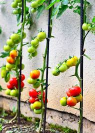 5 Space Saving Vegetables That Can Be Trained To Grow Vertically Thisnzlife