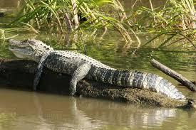 Can Alligators Climb Trees Wildlife Informer