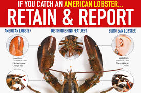 Retain and report American lobsters ...