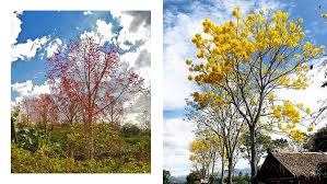 the most beautiful philippine trees