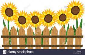 Wooden Fence Garden With Sunflowers Cartoon Vector Illustration Graphic Design Stock Vector Image Art Alamy