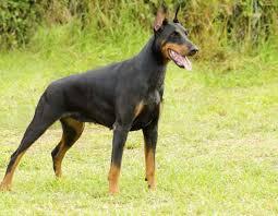 doberman pinscher dog dogs