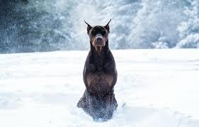 wallpaper winter snow dog doberman