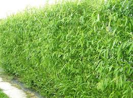 Living Willow Hedges Insteading
