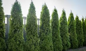 Grow Guide For Thuja Green Giant Arborvitea Perfect Plants