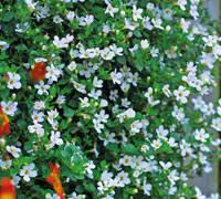 Top 10 Hanging Basket Plants Thompson Morgan