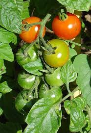 when and how to use tomato fertilizer