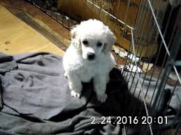 poodle puppies thomasville