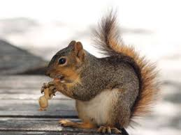 fox squirrels use chunking to