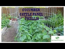 Cucumber Cattle Panel Trellis In My Raised Bed Garden Youtube