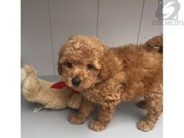 home raised toy poodle puppies adoption