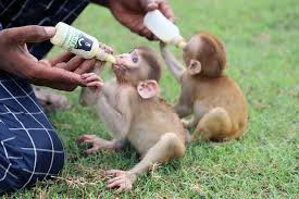adorable monkey es orphaned after