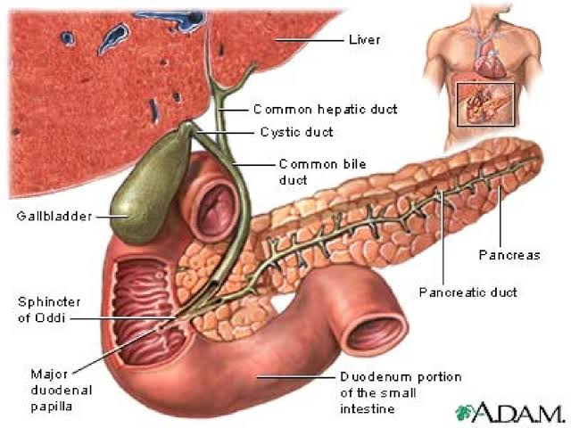 """Image result for common bile duct pancreas"""" causes of back pain"""
