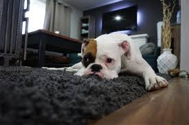 how to get dog hair out of carpet step