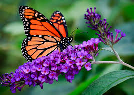 DROUGHT: How less water is actually helping Monarch butterflies ...
