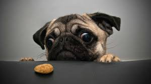pug hd wallpapers background images