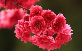 صور ورد الربيع ليدي بيرد